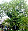 A8-1-Platanus occidentalis (Eastern Sycamore).JPG