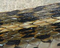 Section of body of a snake is shown. It has brown, black and buff coloured scales. The vretebral scales form a buff-coloured row in which the keels are prominently seen.