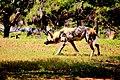 AFRICAN WILD DOG (14073169953).jpg