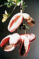 AKEBIA QUINATA fruit.jpg