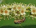 A Hoverfly on a Desi Badam (Terminalia catappa) in Hyderabad, AP W IMG 0494.jpg