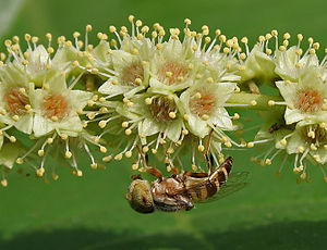 Terminalia (plant) - Terminalia catappa flowers with a Hoverfly- a close up