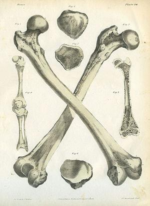 Jones Quain - A Series of Anatomical Plates Bones Plate 24