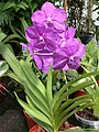 A and B Larsen orchids - Ascocenda Mikasa Sapphire 2890x.jpg