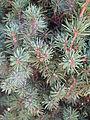A dwarf Alberta white spruce.jpg