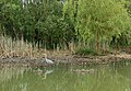 A heron fishing - geograph.org.uk - 1302808.jpg