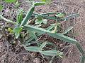 A image of Cissus quadrangularis.JPG