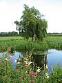 A lone willow tree - geograph.org.uk - 894028.jpg