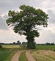 A solitary oak near Woodrising - geograph.org.uk - 1348930.jpg