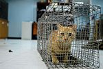 A stray cat, captured during a US military neuter and release program, crouches in a cage in Southwest Asia, Sept. 28, 2015.jpg