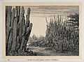 A thicket of cactus (Cereus dyckii) in Guatemala. Wood engra Wellcome V0043208.jpg
