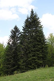 Abietoideae Subfamily of the conifer family Pinaceae