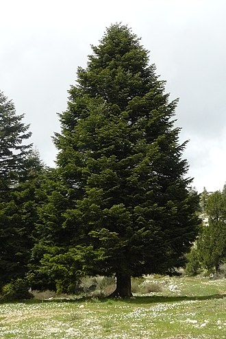 Abies cilicica - Cilica fir in north Lebanon