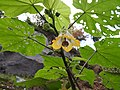 Abutilon ranadei-4-bsi-yercaud-salem-India.jpg
