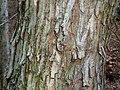Acacia ataxacantha, bas, Little Eden.jpg