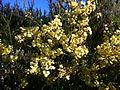 Acacia cochlearis blossom.jpg