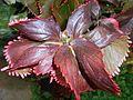 Acalypha wilkesiana 2015-06-01 OB 255.jpg