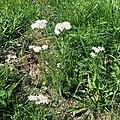 Achillea millefolium-Achillée millefeuille-20190726.jpg