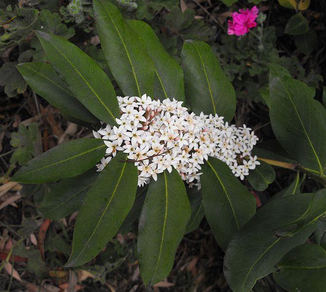 fleur et feuilles de l'acokanthera