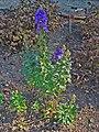 Aconitum carmichaelii var. wilsonii 001.JPG