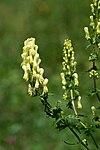 Aconitum vulparia Gelber Eisenhut 3