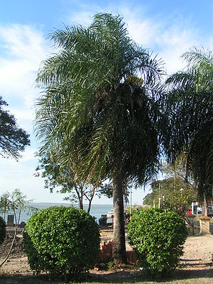 Acrocomia aculeata - Image: Acrocomia totai