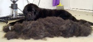 Newfoundland dog - A Newfoundland dog lying next to its combed-out seasonal undercoat.