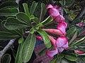 Adenium obesum (Forssk.) Roem. & Schult. or Desert Rose (side).jpg