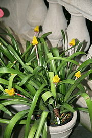 Aechmea calyculata 05