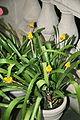 Aechmea calyculata 05.jpg