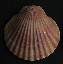 Aequipecten opercularis Pilgermuschel.jpg
