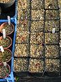 Aesculus californica germinations (11890735485).jpg