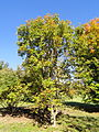 Aesculus glabra - University of Kentucky Arboretum - DSC09366.JPG