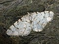 Aethalura punctulata - Grey birch - Дымчатая пяденица точечная (40020400155).jpg