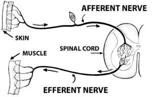 Efferent nerve fiber - Image: Afferent (PSF)