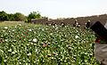 Afghanistan - Helmand Province, Poppy Fields 6.jpg