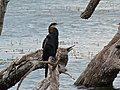 African Darter (Anhinga rufa) (8290575527).jpg