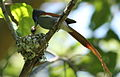 African paradise flycatchers, Terpsiphone viridis, nesting at at Walter Sisulu National Botanical Garden, December 1, 2014 (15941000411).jpg
