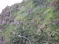 Agapanthus praecox orientalis Willd. (AM AK294836-2).jpg