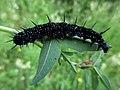 Aglais io (Nymphalidae) - (caterpillar), Elst (Gld), the Netherlands.jpg