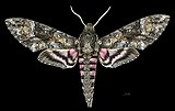 Agrius cingulata MHNT CUT 2010 0 208 Itatiaia National Park Brazil male dorsal.jpg
