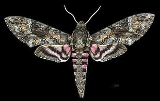 Agrius (moth) - Agrius cingulata