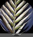 Agropyron pectiniforme sl21.jpg