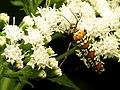 Ailanthus Webworm Moth (31453643650).jpg