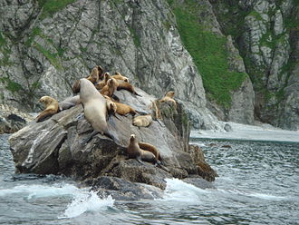 Sea lion - Steller sea lions haul out on a rock off the coast of Raspberry Island (Alaska).