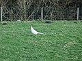 Albino pheasant near Closes Barn - geograph.org.uk - 686714.jpg