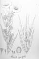Allamanda angustifolia Pohl59.png