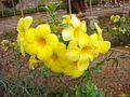Allamanda cathartica flowers 1.JPG