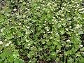 Alliaria petiolata SCA-160504-02.jpg