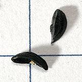 Allium.schoenoprasum.seeds.jpg